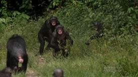 "Bonobos Prefer ""Jerks"" over Helpers"