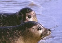 Seal Epidemic Begins Anew