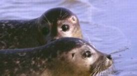 Seal Epidemic Begins Anew