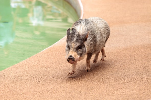 Why Pet Pigs Are More like Wolves Than Dogs