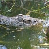 A juvenile Cuban crocodile