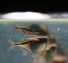 mirror fish