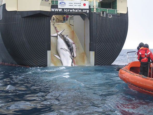 Hunt for Whales by Japan Must Stop, Court Rules