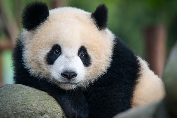 "How the Panda's ""Thumb"" Evolved Twice"