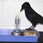 Crafty Crow Rivals Primates in Toolmaking