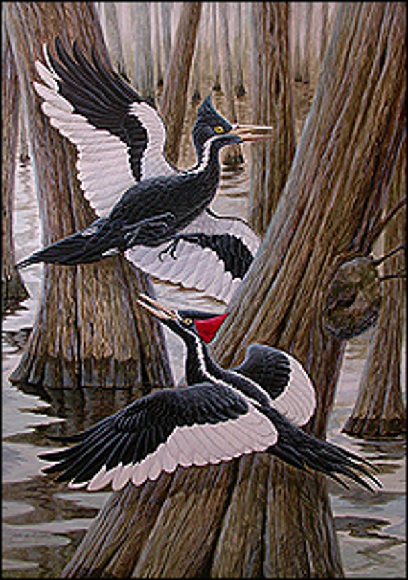"""Extinct"" Woodpecker Flies Back from the Beyond"