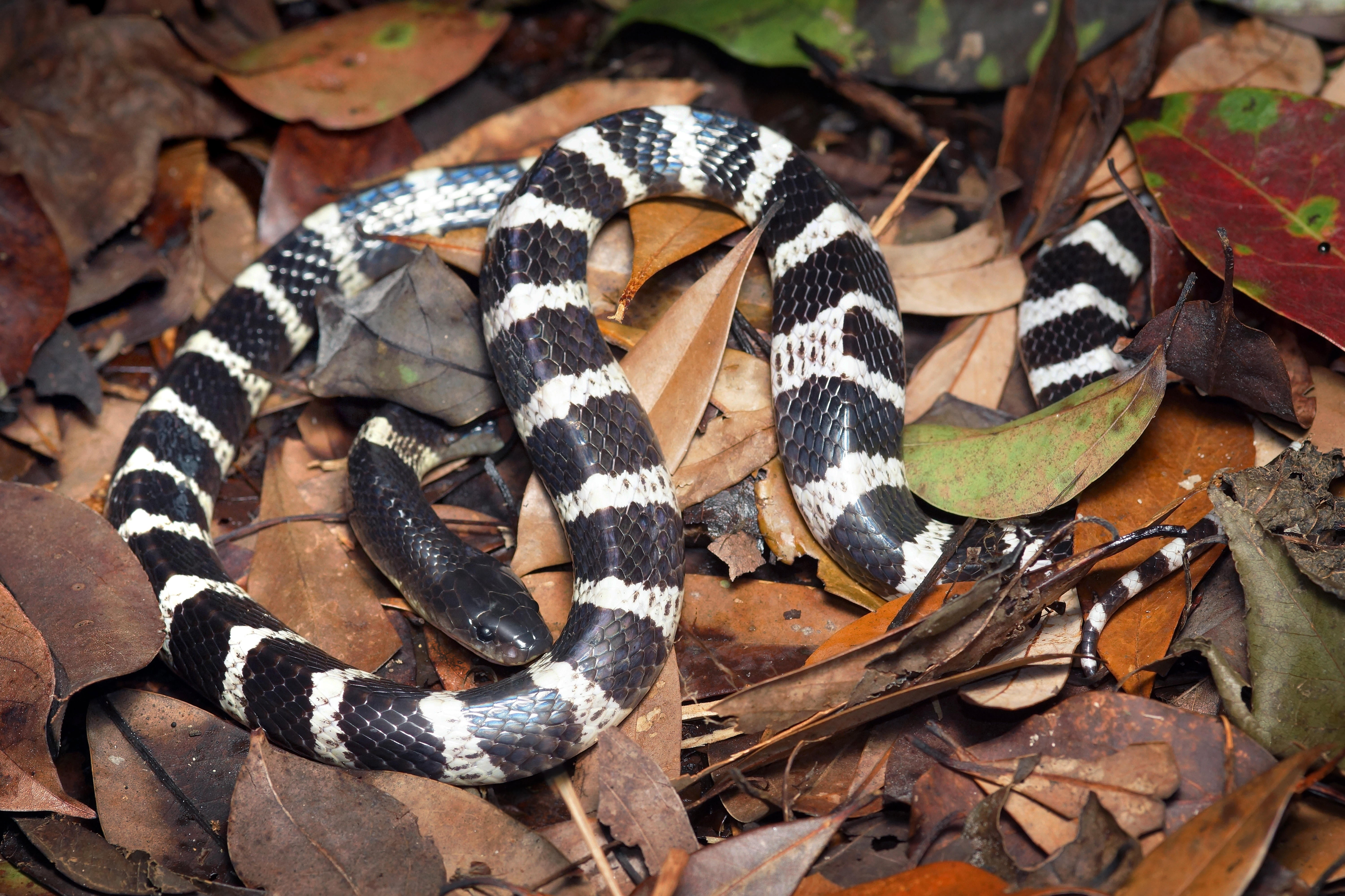 Some Scientists Skeptical about Snakes Spreading New Virus in China