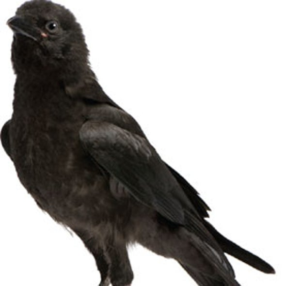 Crows Show Off Their Social Skills