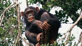 Chimps Able to Apprehend Another Chimp's Mind-Set
