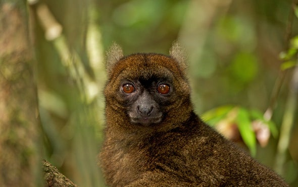 Climate Change Is Making Bamboo-Eating Lemurs Go Hungry