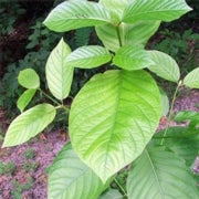 Should Kratom Use Be Legal?