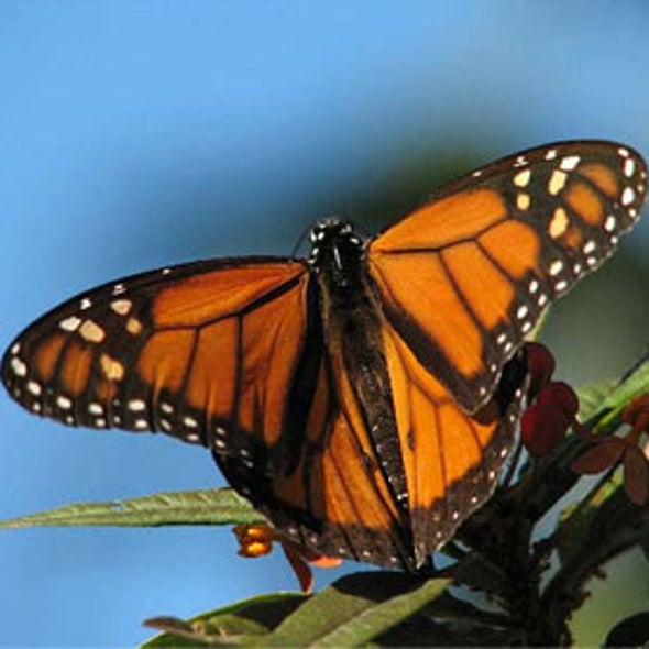 Climate Change, Herbicide May Doom Monarch Butterfly Migration