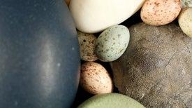 Fossil Pigments Reveal Dinosaur Origin of Bird Egg Colors