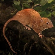 Giant Tree-Dwelling, Coconut-Eating Rat Species Discovered