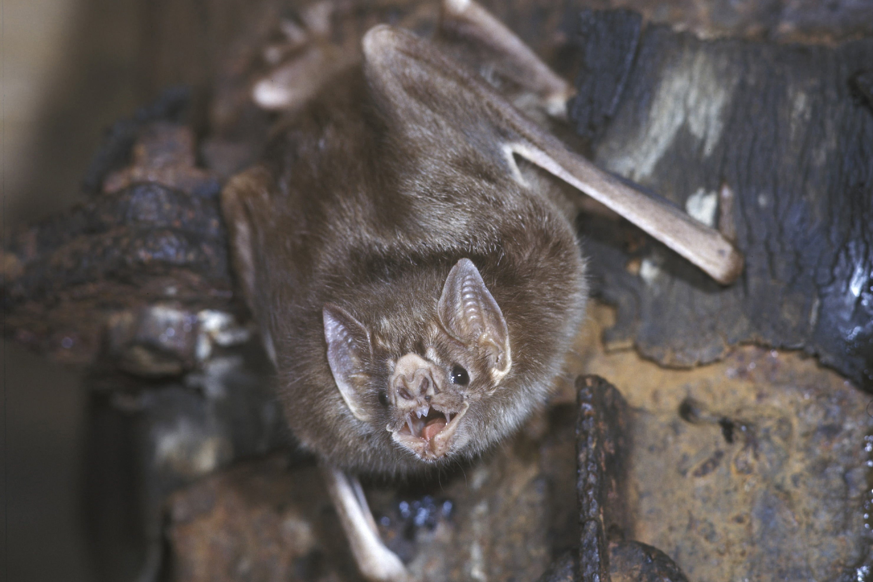 Blood Ties: Vampire Bats Build Trust to Become Food-Sharing Pals