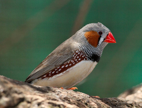 Massive Genetic Effort Confirms Bird Songs Related to Human Speech