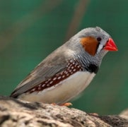 Massive Genetic Effort Confirms Bird Songs Related to Human Speech