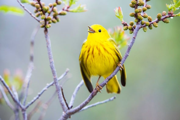 Can Yellow Warblers Adapt to a Warmer Climate?