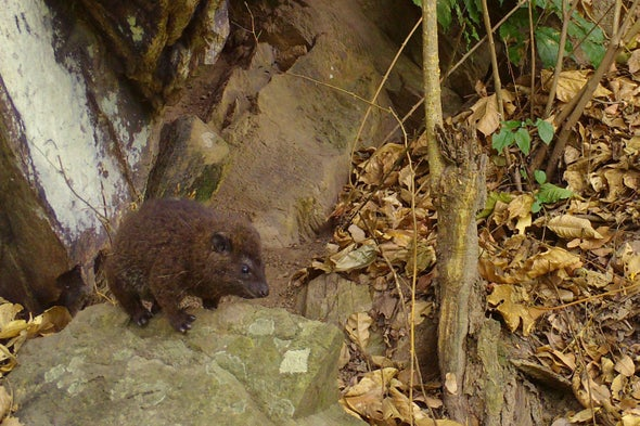 This Newly Discovered Species of Tree Hyrax Goes Bark in the Night