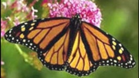 Changing Climate May Leave Wintering Monarchs Out in the Cold