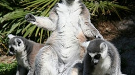 News Bytes of the Week--On the Other Hand: The Scent of a Lemur