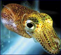 Squid May Inspire New Nanolights