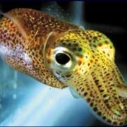 Squid May Inspire New Nanolights