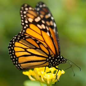 Climate Change May Disrupt Monarch Butterfly Migration