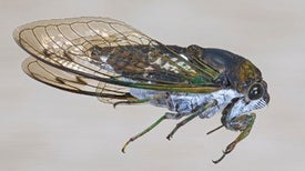 Structure and Chemistry Dictate How Cicada Wings Repel Water and Kill Bacteria