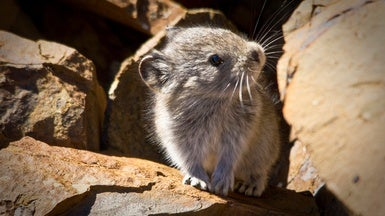 Fuzzy Pikas Adapt to Climate Change at Different Rates