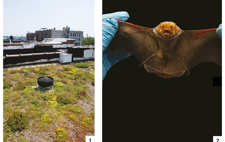 Bats Benefit from Green Roofs
