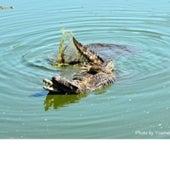 Two Cuban crocodiles