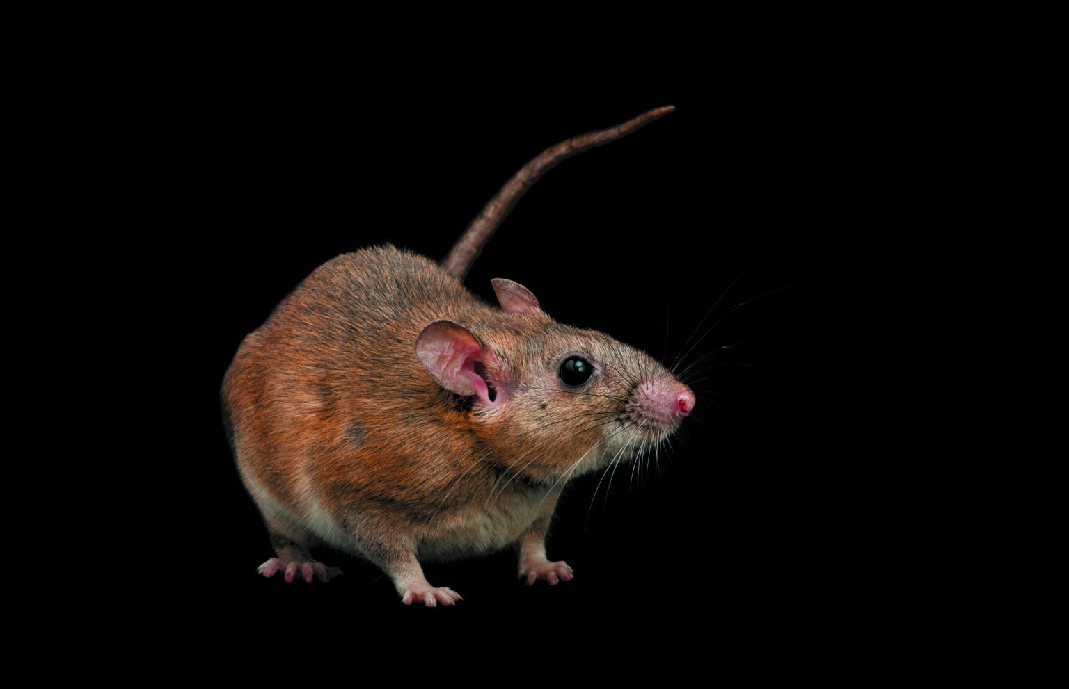 Can We Save the Woodrat without Slaughtering Cats?