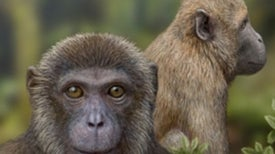 Fossils Indicate Common Ancestor for Old World Monkeys and Apes
