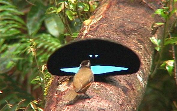 回到黑色:鸟类天堂如何获得他们的午夜羽毛