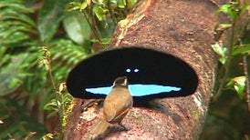 Back to Black: How Birds-of-Paradise Get Their Midnight Feathers