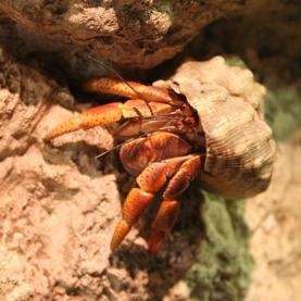 On a Tiny Caribbean Island, Hermit Crabs Form Sophisticated Social Networks [Video]