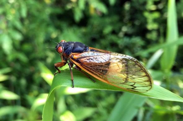 How This Zombie Fungus Turns Cicadas into Horror-Movie Sex Bots