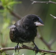Darwin's Finches Get Their Genomes Sequenced