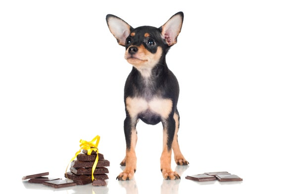 Chocolate Can Be Your Dog's Christmas Nightmare – Here's the Science