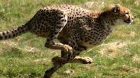 Animal Olympics: The Fastest Critters on Earth [Slide Show]