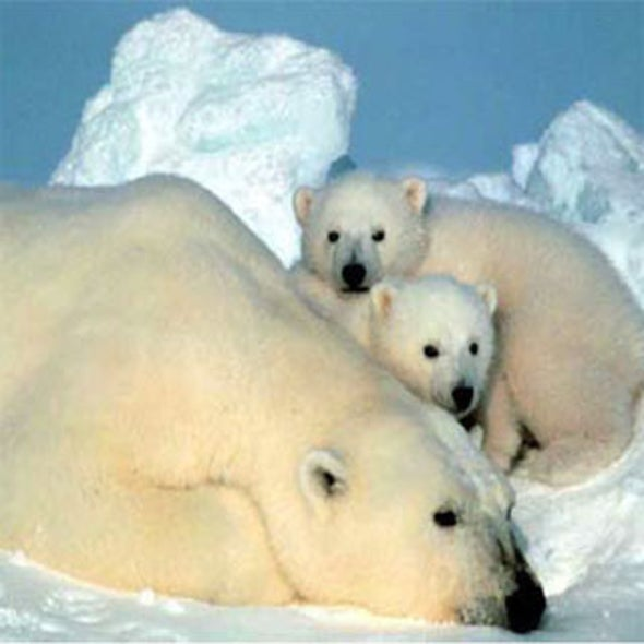 U.S. Protects Polar Bears Under Endangered Species Act