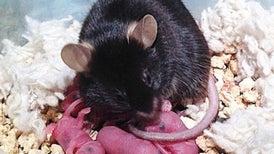 A Command Center in the Mammalian Brain Orchestrates Parenting Behaviors