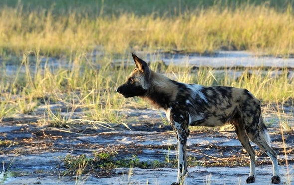 1 Sneeze, 1 Vote among African Wild Dogs