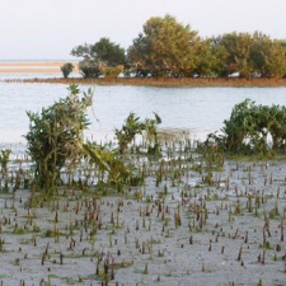 Farming Fuel in Middle Eastern Salt Marshes