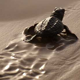Long-lasting Chemicals May Harm Sea Turtles