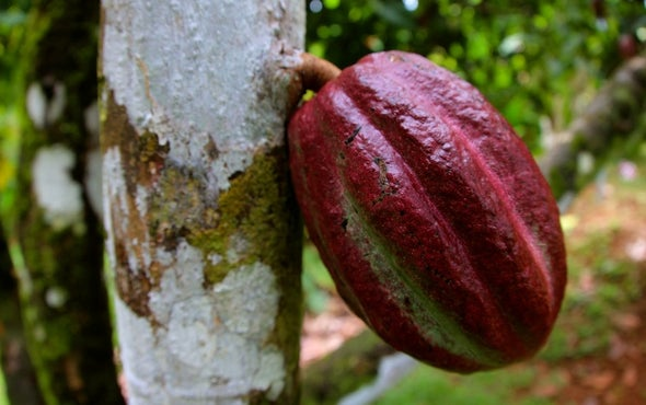 Can Gene Editing Save the World's Chocolate?