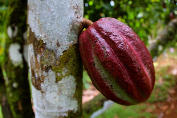 Can Gene Editing Save the World's Chocolate?