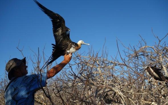 Frigate Bird Flights Last Months