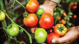 Study Sequences 100 Tomato Varieties